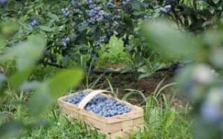 Уход за голубикой весной на даче на открытом участке: обрезка, подкормка и подкисление, чтобы она хорошо росла