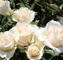 Роза Талея: фото и описание, выращивание, посадка и уход в открытом грунте