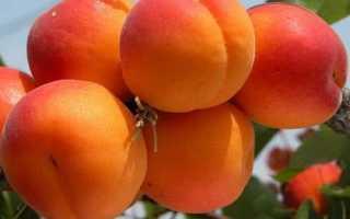 Абрикос Фаворит: характеристика и описание сорта, посадка, выращивание и уход, фото