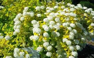 Спирея вангутта Золотой Фонтан (Spiraea vanhouttei Gold Fontain): описание и фото, высота куста, посадка и уход, использование в ландшафтном дизайне