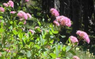 Спирея густоцветковая (денсифлора): фото и описание, посадка и уход, сорта