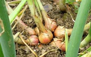 Лук семейный: описание, сорта, выращивание и уход, преимущества и недостатки, фото