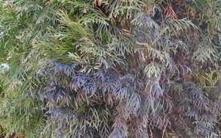 Почему туя чернеет: что делать, если у дерева темнеет хвоя и ветки, корни растения стали чёрными, дерево после посадки почернело, фото