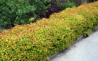 Японская спирея Файерлайт (Spiraea japonica Firelight): фото и описание, посадка и уход