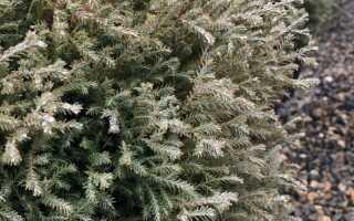 Туя западная Мистер Боулинг Болл (Thuja occidentalis Mr. Bowling Ball): дерево в ландшафтном дизайне, описание сорта с фото, посадка и уход