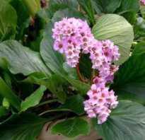 Посадка бадана и уход за ним в открытом грунте осенью: где лучше посадить цветок на участке, какую почву любит, болезни и вредители