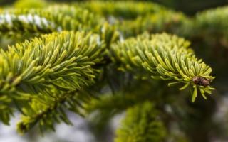 Сорта ели: описание с фото, разновидности для сада, ползучая и круглая ель