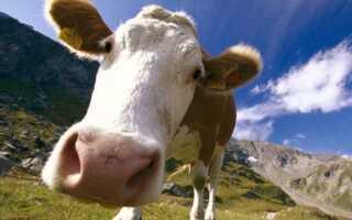 Почему корова даёт мало молока: что делать