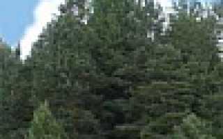 Корневая система кедра сибирского: как растут корни у кедровой сосны, как они выглядят и каких размеров достигают