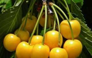 Черешня Россошанская Золотая: описание и характеристика сорта, посадка и уход, фото