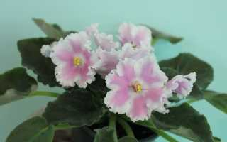 Фиалка Зефир: фото и описание, выращивание и уход в домашних условиях
