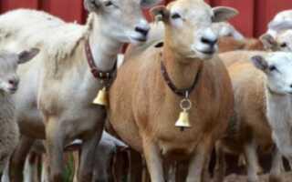 Катумская порода овец: характеристика породы, внешний вид, особенности, фото