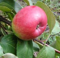 Яблоня сорта Первоуральская: описание и особенности, агротехника выращивания, фото