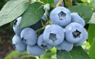 Голубика садовая Блюрей: описание сорта, фото, посадка и уход, полезные свойства и противопоказания
