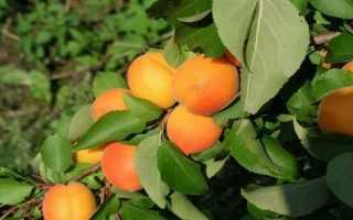 Абрикос Жигулёвский сувенир: описание и характеристика сорта, агротехника выращивания и ухода, фото