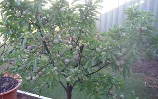 Дерево миндаль: описание растения, как выглядит и где растёт, выращивание и применение в ландшафтном дизайне