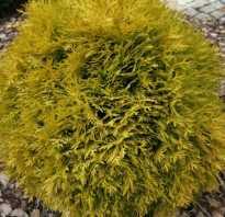 Туя западная Амбер Глоу (Thuja occidentalis Amber Glow): описание сорта с фото, посадка и уход, использование в ландшафтном дизайне