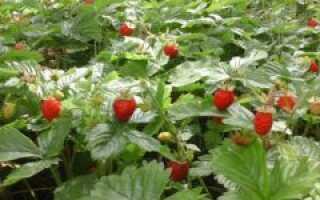 Дикая клубника: отличия, где растёт, описание и характеристика, значение и применение, фото