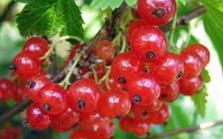 Поздний крупноплодный сорт красной смородины Мармеладница: описание, агротехника, уход, фото
