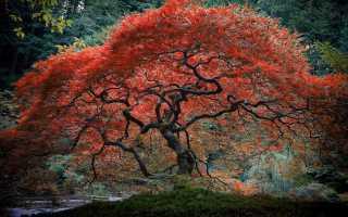 Клён японский красный: уход и посадка в Подмосковье, фото и описание сортов, размножение и применение в ландшафтном дизайне