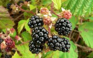 Ежевика садовая: посадка в открытый грунт, выращивание, уход, размножение и обрезка, как правильно посадить, где, когда и на каком расстоянии