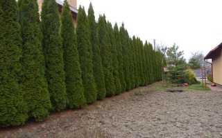 Живая изгородь из туи Брабант: как сажать осенью, расстояние между растениями, уход и стрижка, фото