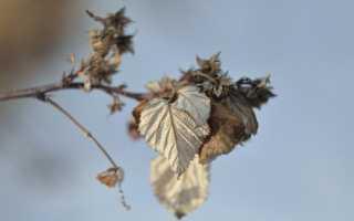 Схема правильной обрезки ремонтантной малины осенью, весной, в течение года, особенности, правила ухода