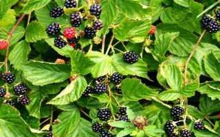 Листья ежевики: способы применения и рецепты, лечебные, полезные свойства для организма, противопоказания