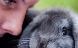 Голландский вислоухий карликовый декоративный кролик баран, описание и фото