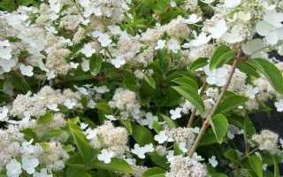 Гортензия метельчатая Прим Вайт (Prim White): описание и фото, особенности посадки и ухода за сортом