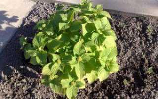 Гортензия на Урале: выращивание в саду, уход и посадка, когда и какую лучше садить, лучшее зимостойкие сорта, фото