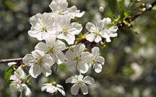 Плод вишни: история названия, пищевая ценность, биологическое значение