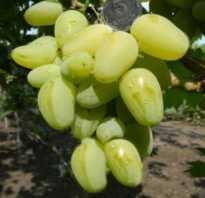 Виноград Гордей: описание сорта, фото, выращивание и уход