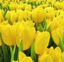 Тюльпан Стронг Голд – посадка и уход, применение в ландшафтном дизайне, фото и описание сорта Strong Gold