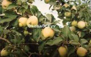Рижский голубок, яблоня — описание с фото, характеристика сорта