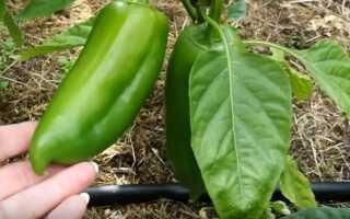 Перец Буратино F1 : описание и характеристика, выращивание и урожайность сорта, фото