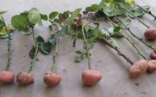 Как вырастить розу в картошке: пошаговая инструкция, особенности ухода, фото, видео