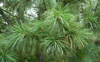 Сосна кедровая корейская (Pinus koraiensis), её сорта: описание дерева, посадка и уход за ним, фото