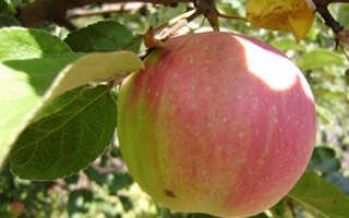 Яблоня Брусничное: описание и характеристика сорта, выращивание и уход, фото