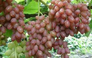 Лучшие сорта винограда без косточек: описание и особенности размножения, фото