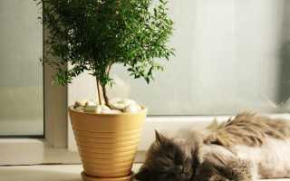 Цветок Мирт — сорта с фото, уход за комнатным растением
