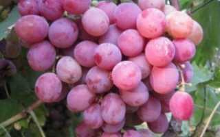 Виноград Фламинго: характеристика и описание сорта, особенности ухода и выращивания, фото