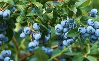 Голубика Харди Блю: описание сорта, фото и отзывы, посадка и уход, полезные свойства и противопоказания