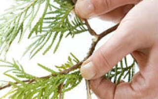 Размножение кипариса черенками в домашних условиях: как укоренить веточку, как посадить и вырастить дерево из ветки