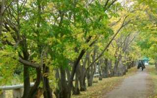 Маньчжурский орех в Сибири: выращивание и уход за растением в открытом грунте, лучшие сорта, фото