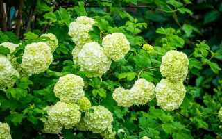 Почему гортензия цветёт зелёным цветом и что делать, если цветы у растения стали зелёными