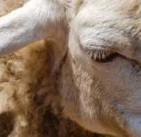 Чем и как эффективно обработать овец от клещей — лекарство от клещей для овец: аптечные препараты, народные средства