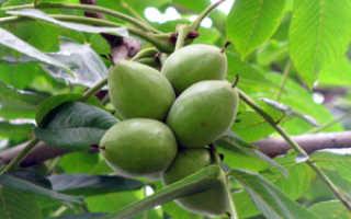 Маньчжурский орех в Подмосковье: выращивание и уход за растением в открытом грунте, лучшие сорта, отзывы и фото