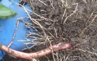 Как правильно и когда посадить ежевику осенью саженцами: сроки, пошаговая инструкция, уход