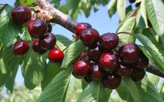 Черешня Ревна: описание и характеристика сорта, выращивание и уход, фото